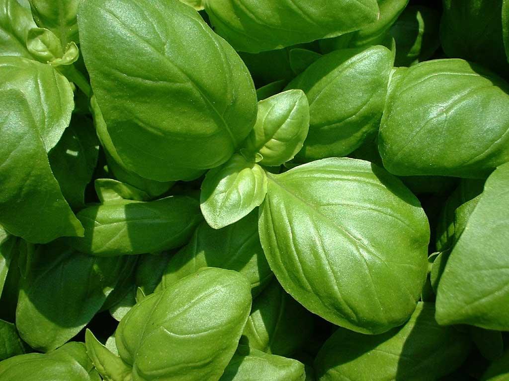 Basilic - huile essentielle bio pour la cuisine