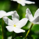 Fleur de jasmin - huile essentielle bio pour la cuisine