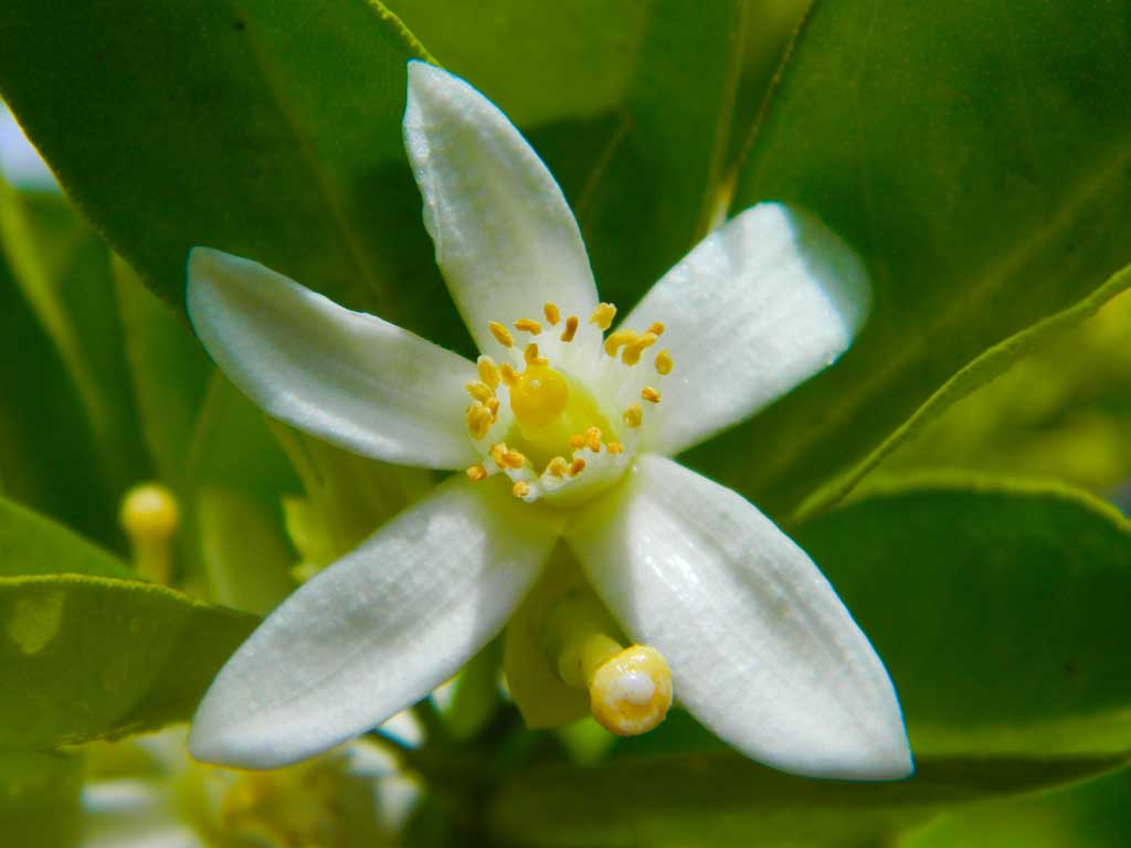 Fleur d'oranger - huile essentielle bio pour la cuisine