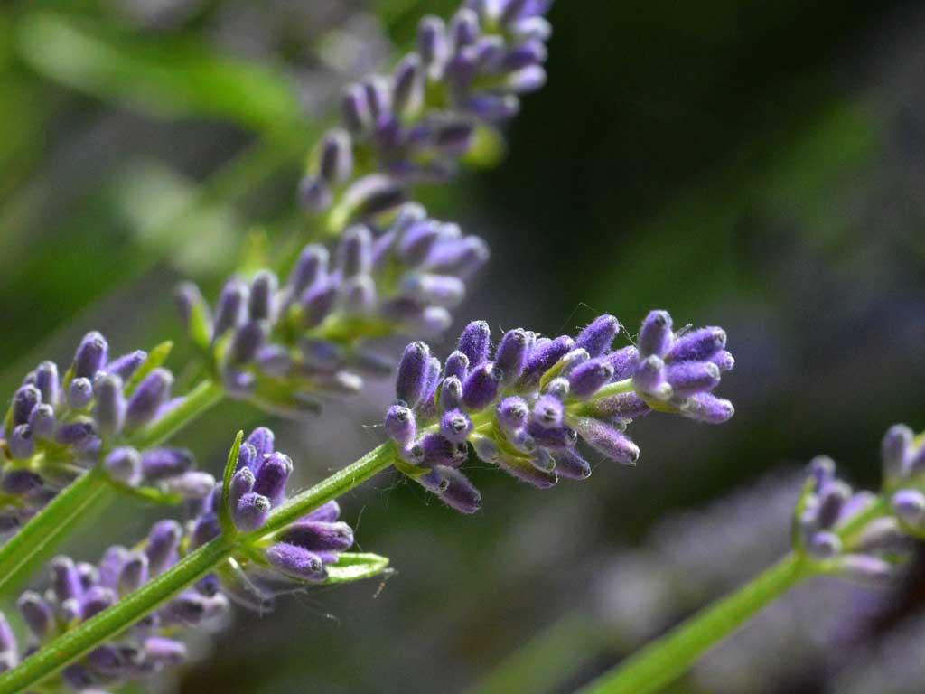 Lavande sauvage - huile essentielle bio pour la cuisine