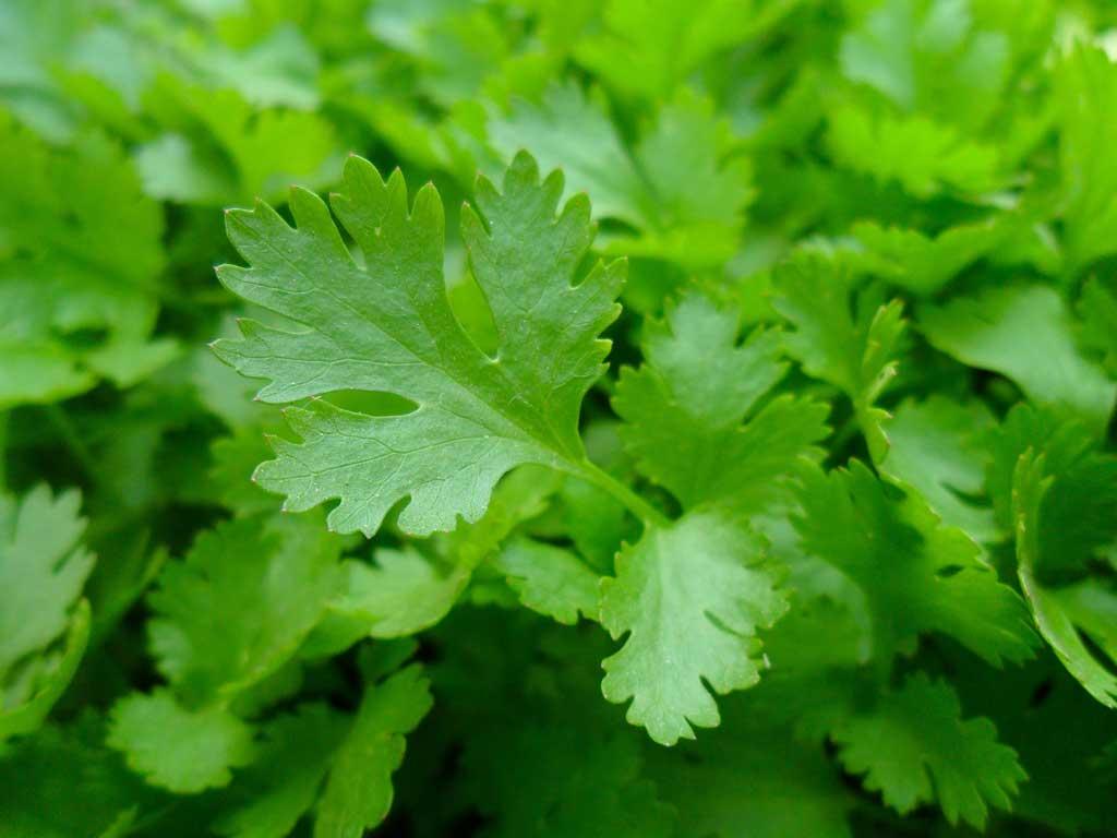 Persil plat - huile essentielle bio pour la cuisine