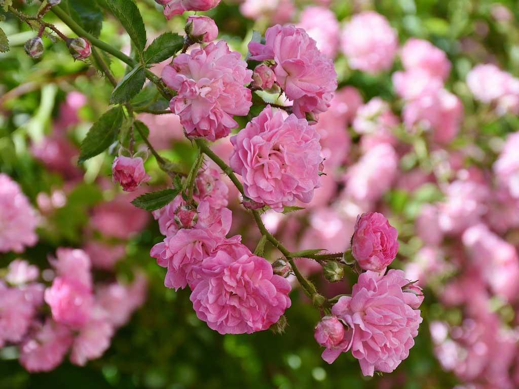 Rose rouge de Damas - huile essentielle bio pour la cuisine