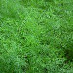 Aneth - huile essentielle bio pour la cuisine