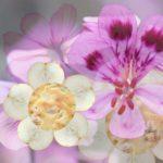 Délice de poires fleuri au géranium Bourbon